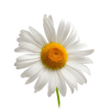 Single Daisy Chamomile Background image #48752