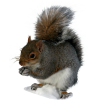 Squirrel File image #20471