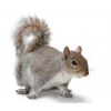 Transparent Squirrel Image image #20477
