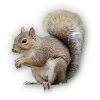 Hd  Squirrel image #20478