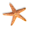 Download Free High-quality Starfish  Transparent Images image #19868