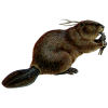 Stomping Your Belly Beaver Transparent Background image #47737