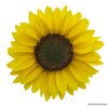 Download Sunflower Images Free image #28726