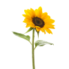 Download Free High-quality Sunflower  Transparent Images image #28727