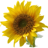 Format Images Of Sunflower image #28728