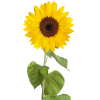 Free Download Sunflower  Images image #28734