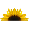 Download Free High-quality Sunflower  Transparent Images image #28740