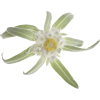 The Picture Green Yellow White Edelweiss image #48559
