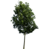 Tree Clipart image #776