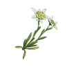 Two Branched Leafy Yesil Edelweiss Photo image #48585