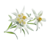 Very Leafy Edelweiss Photo image #48560