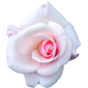 White Cabbage Rose, Garden Roses, Flower image #48804