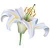 White Flower Lily image #46499