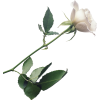 White Rose Background, Plant Stem Botany Flowering Plant image #48806