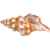 Wrapped In Gold-colored Conch Picture image #48542