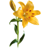Yellow Lily Flower Transparent Background image #46480