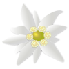 White, Edelweiss, Green image #48563