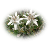 Green-stemmed Edelweiss Natural Photo image #48578