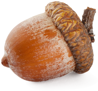 Download And Use Acorn Png Clipart PNG images