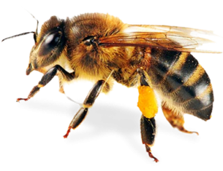 Bee Image PNG Transparent PNG images