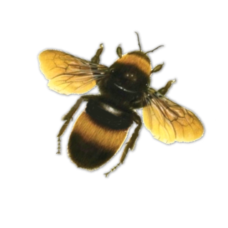 Bee In Png PNG images