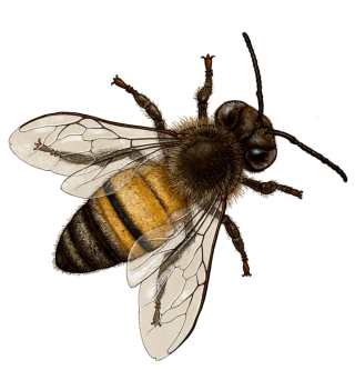 Bee In Png 3 PNG images