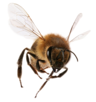 Bee Png Available In Different Size PNG images