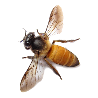 Bee Transparent Image PNG PNG images