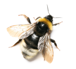 Download Bee Latest Version 2018 24 PNG images