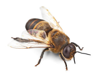 High Resolution Bee Png Clipart PNG images
