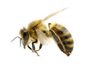 High Resolution Bee Png Icon PNG images
