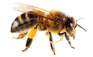 Png Bee Best Clipart PNG images