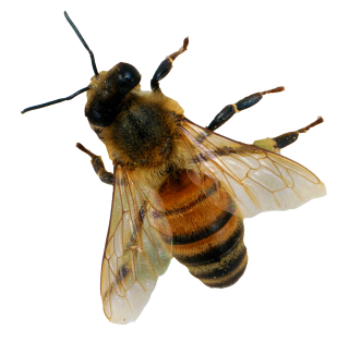 PNG Bee Picture PNG images