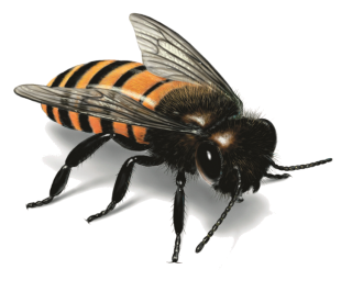 Png Format Images Of Bee PNG images