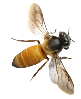 Vector Png Bee PNG images