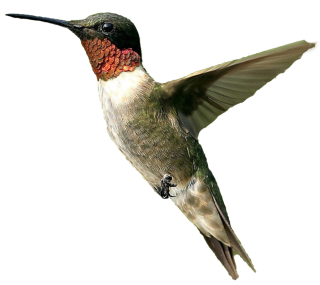Bird Png Male Humming Bird Png PNG images