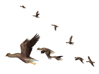 Flying Birds PNG images