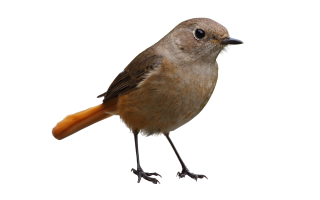 Gray Bird Png PNG images