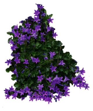 Purple Flowery Bushes PNG PNG images