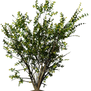 Shrubs Png Christmas Flowers, Acacia Bush PNG images