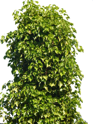 Tree Bushes Png PNG images