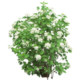 Cutout Of Bush With White Flowers PNG images