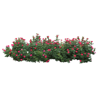 Rose Bush PNG images