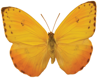 Orange Butterfly Png PNG images