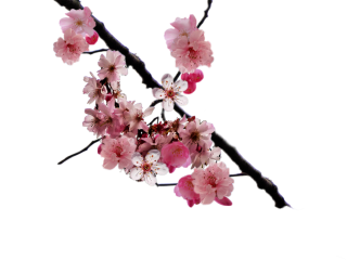 Browse And Download Cherry Blossom Png Pictures PNG images