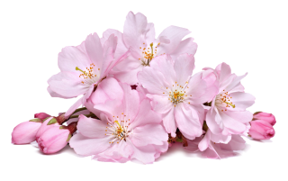 Cherry Blossom Transparent PNG PNG images