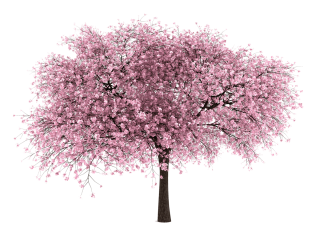 Download For Free Cherry Blossom Png High Resolution PNG images