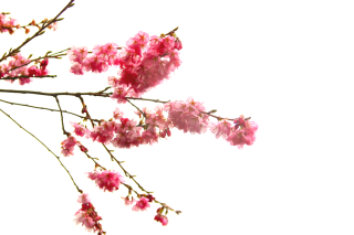 High-quality Cherry Blossom Cliparts PNG images