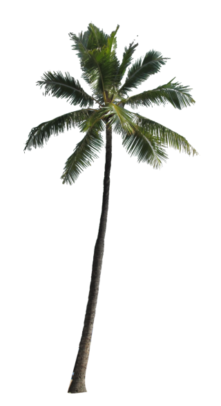 Coconut Palm Tree PNG Image PNG images