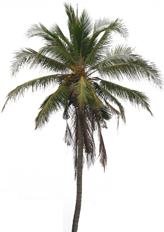 Coconut Tree PNG HD PNG images